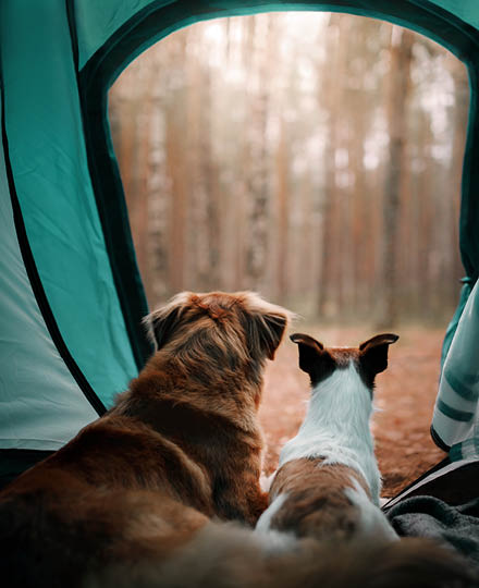 Camping with dogs thumbnail. Dogs sat in a tent.